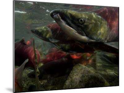 Spawning Salmon Dominate Traffic in the Ozernaya River-Randy Olson-Mounted Photographic Print