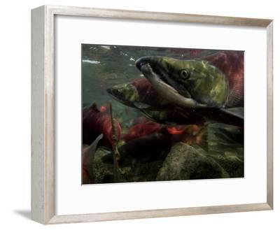 Spawning Salmon Dominate Traffic in the Ozernaya River-Randy Olson-Framed Photographic Print