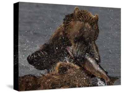 Brown Bear Catches a Salmon Fish in Kuril Lake-Randy Olson-Stretched Canvas Print