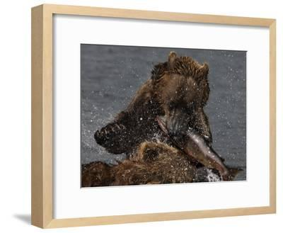 Brown Bear Catches a Salmon Fish in Kuril Lake-Randy Olson-Framed Photographic Print