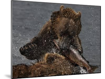 Brown Bear Catches a Salmon Fish in Kuril Lake-Randy Olson-Mounted Photographic Print