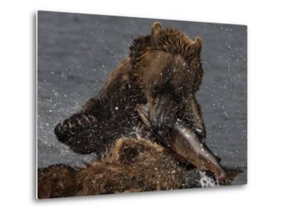 Brown Bear Catches a Salmon Fish in Kuril Lake-Randy Olson-Metal Print