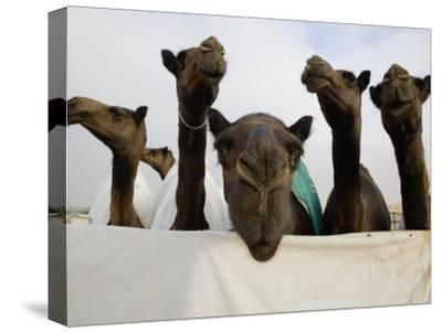 Camels are Kept Clean in Preparation for the Camel Beauty Contest-Randy Olson-Stretched Canvas Print