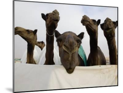 Camels are Kept Clean in Preparation for the Camel Beauty Contest-Randy Olson-Mounted Photographic Print