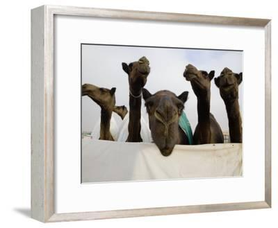 Camels are Kept Clean in Preparation for the Camel Beauty Contest-Randy Olson-Framed Photographic Print