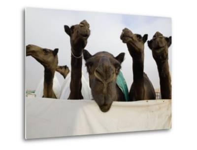 Camels are Kept Clean in Preparation for the Camel Beauty Contest-Randy Olson-Metal Print