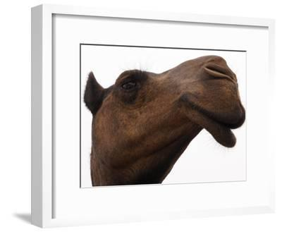 Camel with Oblong Nostrils and Drooping Lips-Randy Olson-Framed Photographic Print