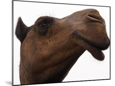 Camel with Oblong Nostrils and Drooping Lips-Randy Olson-Mounted Photographic Print