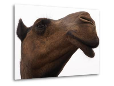 Camel with Oblong Nostrils and Drooping Lips-Randy Olson-Metal Print