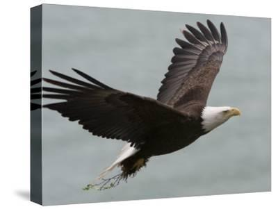 American Bald Eagle Soaring-Roy Toft-Stretched Canvas Print