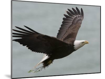 American Bald Eagle Soaring-Roy Toft-Mounted Photographic Print