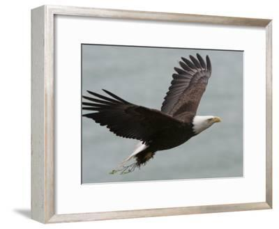 American Bald Eagle Soaring-Roy Toft-Framed Photographic Print