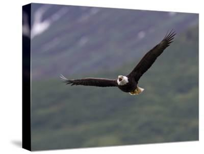 American Bald Eagle Soaring and Vocalizing-Roy Toft-Stretched Canvas Print