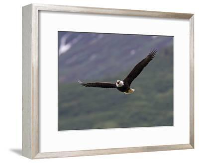 American Bald Eagle Soaring and Vocalizing-Roy Toft-Framed Photographic Print