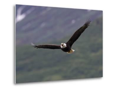 American Bald Eagle Soaring and Vocalizing-Roy Toft-Metal Print