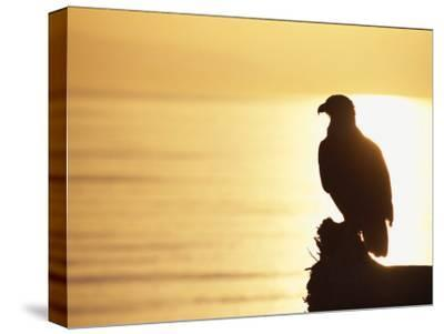 American Bald Eagle, Haliaeetus Leucocephalus, Silhouette at Sunset-Roy Toft-Stretched Canvas Print