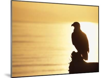 American Bald Eagle, Haliaeetus Leucocephalus, Silhouette at Sunset-Roy Toft-Mounted Photographic Print