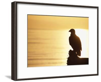 American Bald Eagle, Haliaeetus Leucocephalus, Silhouette at Sunset-Roy Toft-Framed Photographic Print