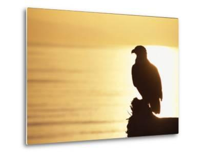 American Bald Eagle, Haliaeetus Leucocephalus, Silhouette at Sunset-Roy Toft-Metal Print