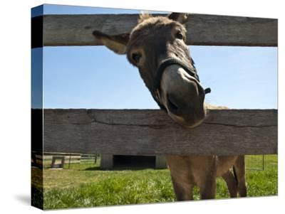 Curious Donkey Sticks His Head Through a Fence-Stacy Gold-Stretched Canvas Print