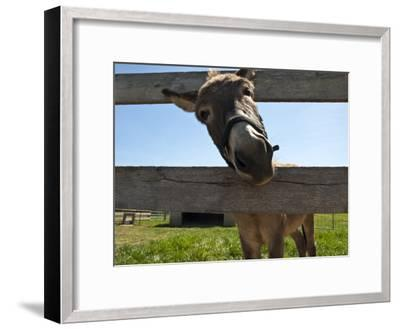 Curious Donkey Sticks His Head Through a Fence-Stacy Gold-Framed Photographic Print