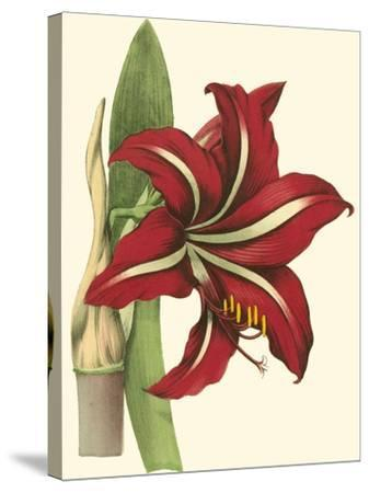 Amaryllis I-Cooke-Stretched Canvas Print