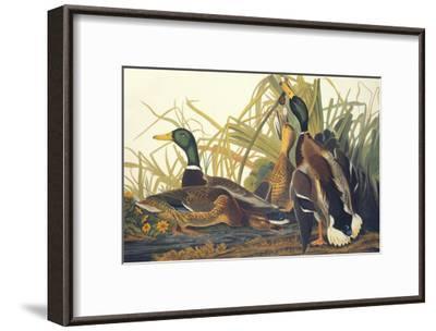 Mallard Duck-John James Audubon-Framed Art Print