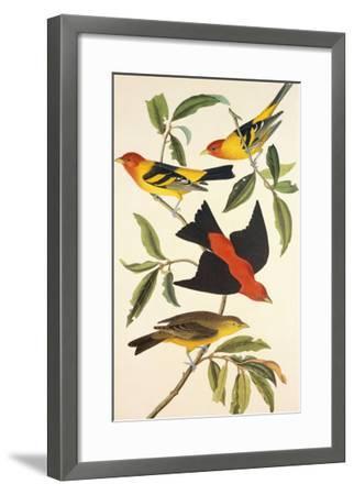 Louisiana Tanager, Scarlet Tanager-John James Audubon-Framed Art Print