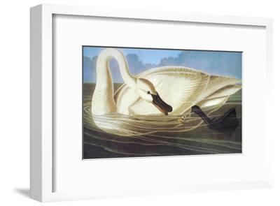 Trumpeter Swan-John James Audubon-Framed Art Print