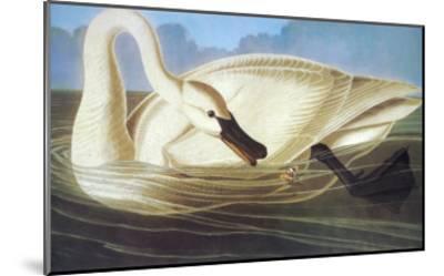 Trumpeter Swan-John James Audubon-Mounted Art Print