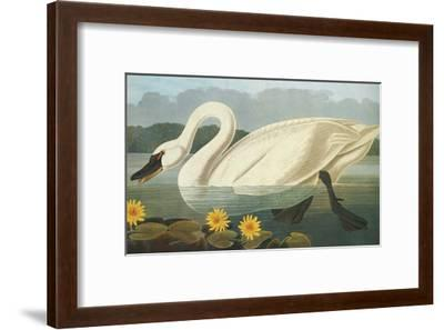 Common American Swan-John James Audubon-Framed Art Print