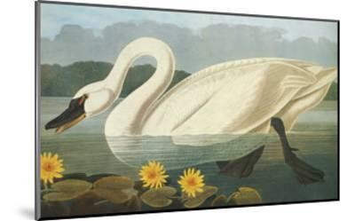 Common American Swan-John James Audubon-Mounted Art Print
