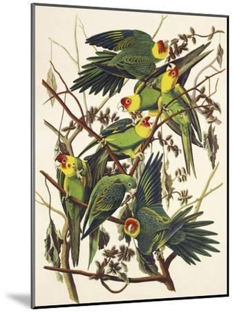 Carolina Parrot-John James Audubon-Mounted Art Print