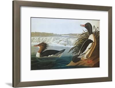 Goosander-John James Audubon-Framed Art Print