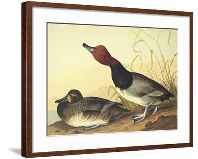 Red-Headed Duck-John James Audubon-Framed Art Print