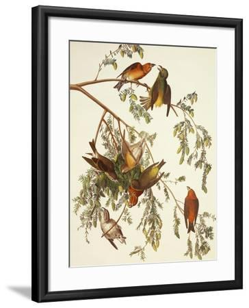 American Crossbill-John James Audubon-Framed Art Print