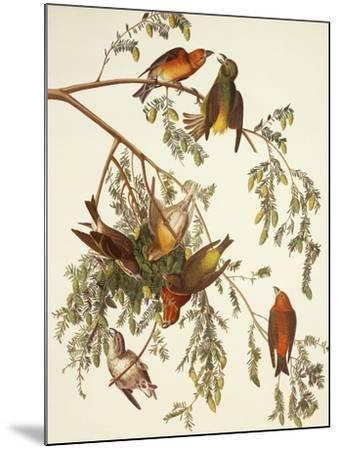 American Crossbill-John James Audubon-Mounted Art Print