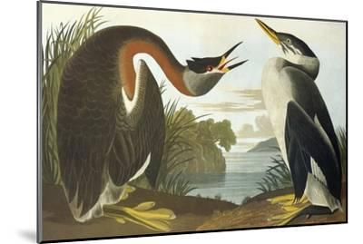 Red-Necked Grebe-John James Audubon-Mounted Art Print