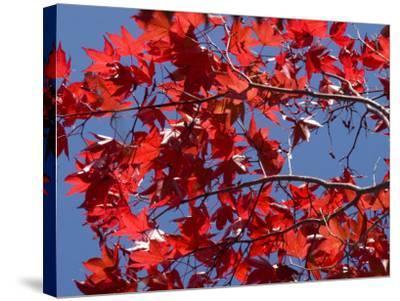 Japanese Maple in Autumn, Akan National Park, Hokkaido, Japan-Tony Waltham-Stretched Canvas Print
