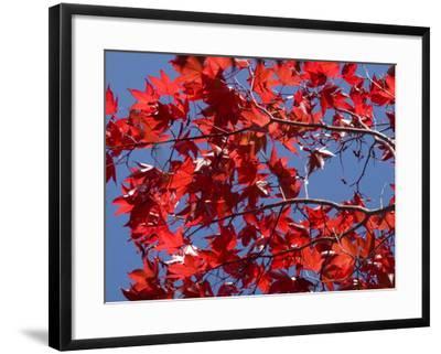 Japanese Maple in Autumn, Akan National Park, Hokkaido, Japan-Tony Waltham-Framed Photographic Print