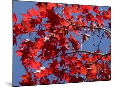 Japanese Maple in Autumn, Akan National Park, Hokkaido, Japan-Tony Waltham-Mounted Photographic Print