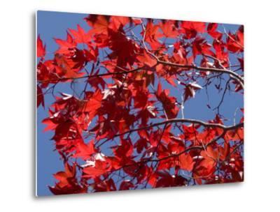 Japanese Maple in Autumn, Akan National Park, Hokkaido, Japan-Tony Waltham-Metal Print