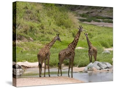 Masai Giraffe (Giraffa Camelopardalis), Masai Mara National Reserve, Kenya, East Africa, Africa-Sergio Pitamitz-Stretched Canvas Print