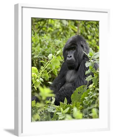 Silverback Mountain Gorilla (Gorilla Gorilla Beringei), Shinda Group, Volcanos National Park-James Hager-Framed Photographic Print