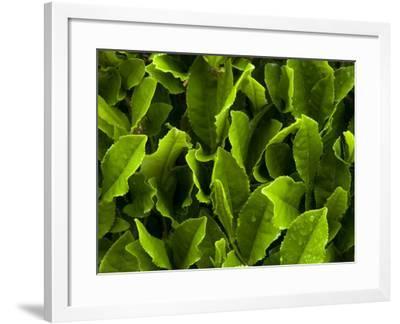 Close Up of Green Tea Leaves Growing on the Makinohara Tea Plantation in Shizuoka, Japan--Framed Photographic Print
