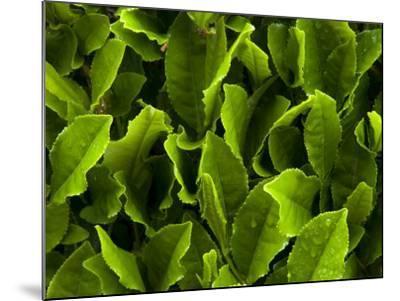Close Up of Green Tea Leaves Growing on the Makinohara Tea Plantation in Shizuoka, Japan--Mounted Photographic Print