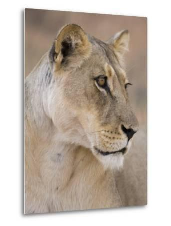 Lioness (Panthera Leo), Kgalagadi Transfrontier Park, South Africa, Africa-Ann & Steve Toon-Metal Print
