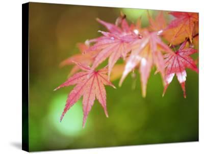 Autumn Maple Leaves, Sagano Area, Kyoto, Japan, Asia-Christian Kober-Stretched Canvas Print