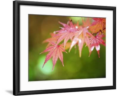 Autumn Maple Leaves, Sagano Area, Kyoto, Japan, Asia-Christian Kober-Framed Photographic Print