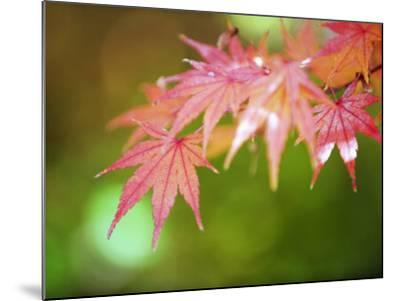 Autumn Maple Leaves, Sagano Area, Kyoto, Japan, Asia-Christian Kober-Mounted Photographic Print